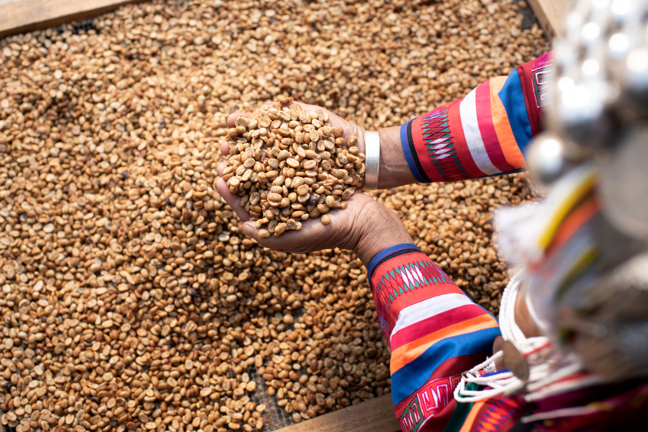 Akha woman, mother and child, cleaning red coffee beans on a bunch of Arabica coffee on branches, business, industry, economy, healthy food and living in northern Thailand